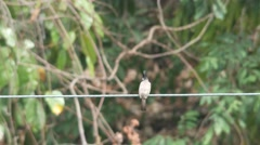 Red-whiskered bulbul resting on the electric line - stock footage