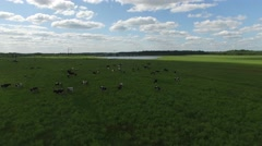 Flying low over the herd of cows grazing in a green field. Stock Footage