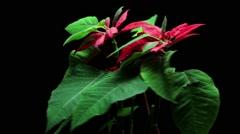 Christmas plant Poinsettia Stock Footage