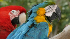 Scarlet macaw and  blue-and-yellow macaw (Ara ararauna) extreme closeup 4K UHD Stock Footage