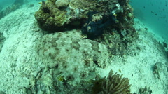 Tasseled Wobbegong Shark on Reef Stock Footage