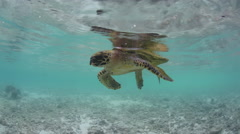 Hawksbill Turtle Floating at Surface of Water Stock Footage