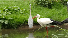 Stork and great egret drinking at a pond 4K UHD Stock Footage