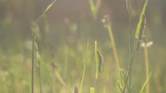 Grass straws moving in slight wind in sun light, flares, close up Stock Footage