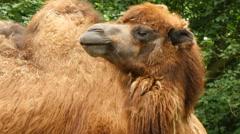 Bactrian camel (Camelus bactrianus) closeup 4K UHD Stock Footage