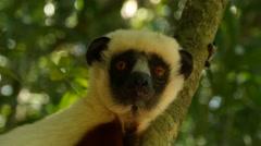 Coquerel-sifaka in forest looks around attentively, jumps away, portrait - stock footage