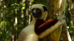 Coquerel-sifaka clinging to a tree, looks around curiously, portrait Stock Footage