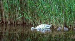 White swan swims feeding kids in reeds in dark lake water Stock Footage