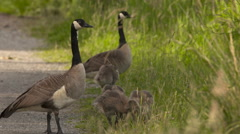Geese and Goslings On a Roadside - stock footage