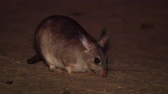 Giant jumping rat at night, searching for food, close Stock Footage