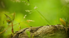 Army ants crawling along tree stub, beautiful blurred green background Stock Footage