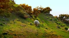 Sheep Peaceful Beautiful Scene, shot in Wales Stock Footage