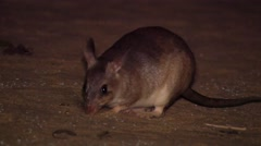 Giant jumping rat at night, searching for food, straighten up, close Stock Footage