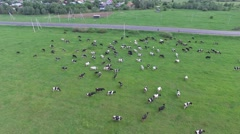 Herd of cows grazing in a green field. Aerial shots. - stock footage