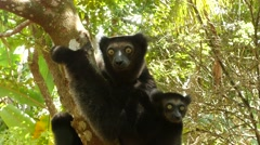 Indri with baby sitting in the tree looking around, critically endangered Stock Footage