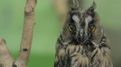 Close-up of an owl looking at the camera and around Stock Footage