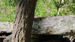 Wildlife Squirrel Peering Wall Stock Footage