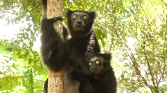 Indri mother with baby on the back looking around, close Stock Footage