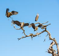 Marabou Stork Stock Photos