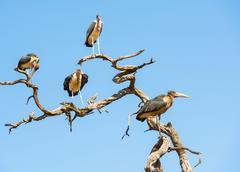 Marabou Stork Birds - stock photo