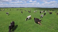 Herd of cows grazing in a green field. Aerial shots on low altitude. Stock Footage