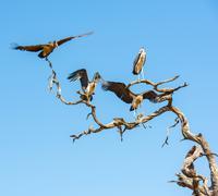 Undertaker Bird - stock photo