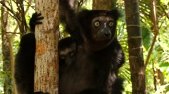 Indri looks around, baby peeps under her her arm, portrait Stock Footage