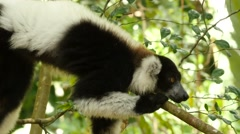 Vari lying on a branch, looking sleepy around, close Stock Footage
