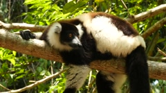 Vari lying on a branch, looking around curiously, close Stock Footage