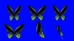 Set of Green Butterfly Wings Waving in Different Speed and Angles on Blue Screen - stock footage