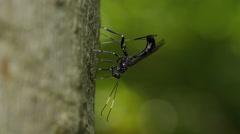 4K Ichneumon Wasp (Xorides stigmapterus) - Female Ovipositing Stock Footage