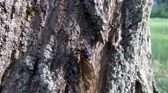 Cicada climbing tree Stock Footage
