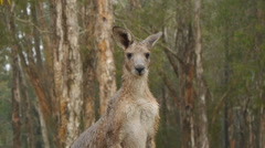 Eastern Grey Kangaroo in the rain Stock Footage