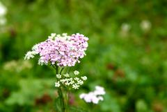 Pink Achillea millefolium flower - stock photo