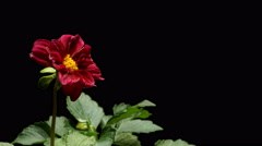 Red Dahlia Time-lapse - stock footage