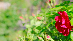 Close up of rose bush outdoor Stock Footage