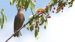Blackbirds Into The Garden - stock footage