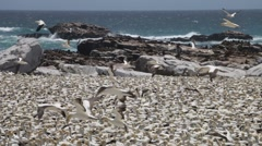 Cape gannet, Malgas Birds - Bird Island - stock footage