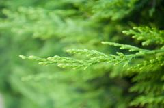 Cypress leaves in a hedge Stock Photos