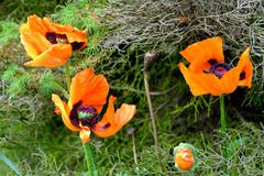 Detail of fading poppies on a background of conifers Stock Photos