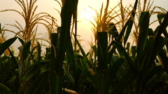 Beautiful Corn farm in thailand - stock footage