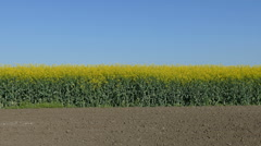 Rapeseed plants in field panning video - stock footage