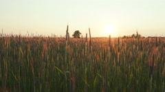 Rye field at sunset, shooting with crane - stock footage