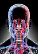 3D illustration of Human Internal System - Circulatory System. Stock Illustration