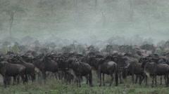 Wildebeest herd gathered Stock Footage