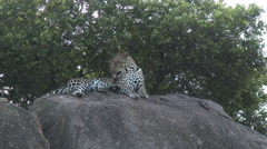 Leopard(Panthera pardus) on Kopje Arkistovideo