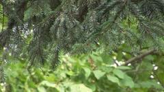 Pine tree moving slowly Stock Footage