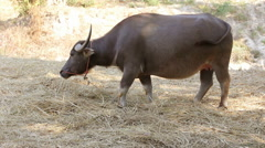 Asian water buffalo eating straw, thailand - stock footage