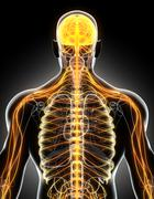 3D illustration male nervous system. Stock Illustration