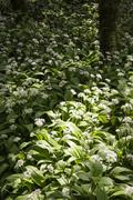 Spring landscape image of wild garlic growing in lush green forest - stock photo